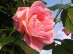 Rose im Garten am Schloßberg