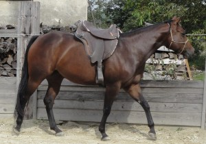 Quarter Horse zu verkaufen!! - Ansicht: Im Roundpen mit Sattel