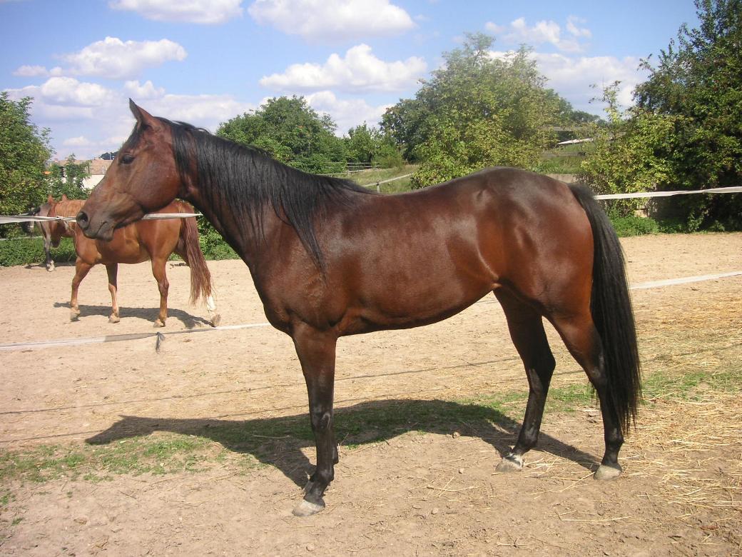 Hübsche Quarter Horse Stute zu verkaufen!