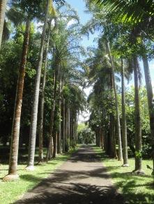 Elefantenfussbaum_Allee im Botanischen Garten Pamplemousses