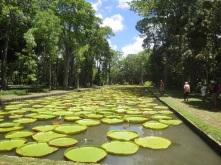 Wasserlilien im Botanischen Garten Pamplemousses
